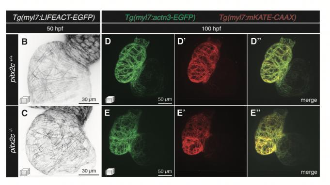 Strukturelle billeder fra forskningen af zebrafiskenes hjerter.