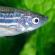 Zebrafisk gør forskere klogere på hjerteflimmer