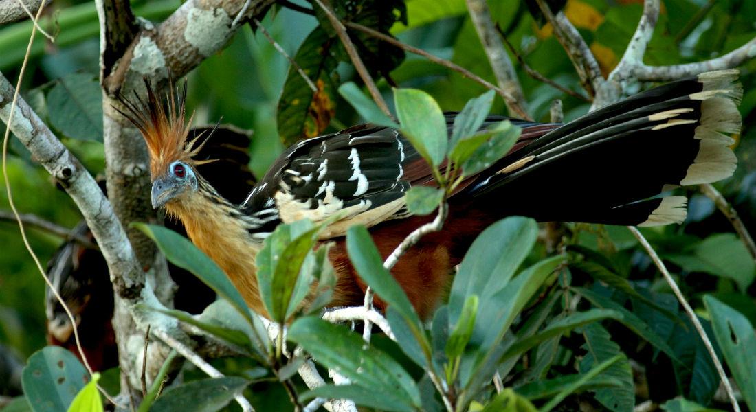 Hoatzin er en regnskovsfugl fra Amazonas