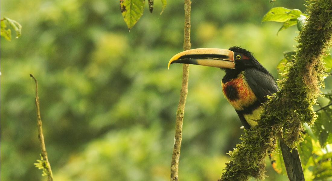 Aracarie på en gren i skoven