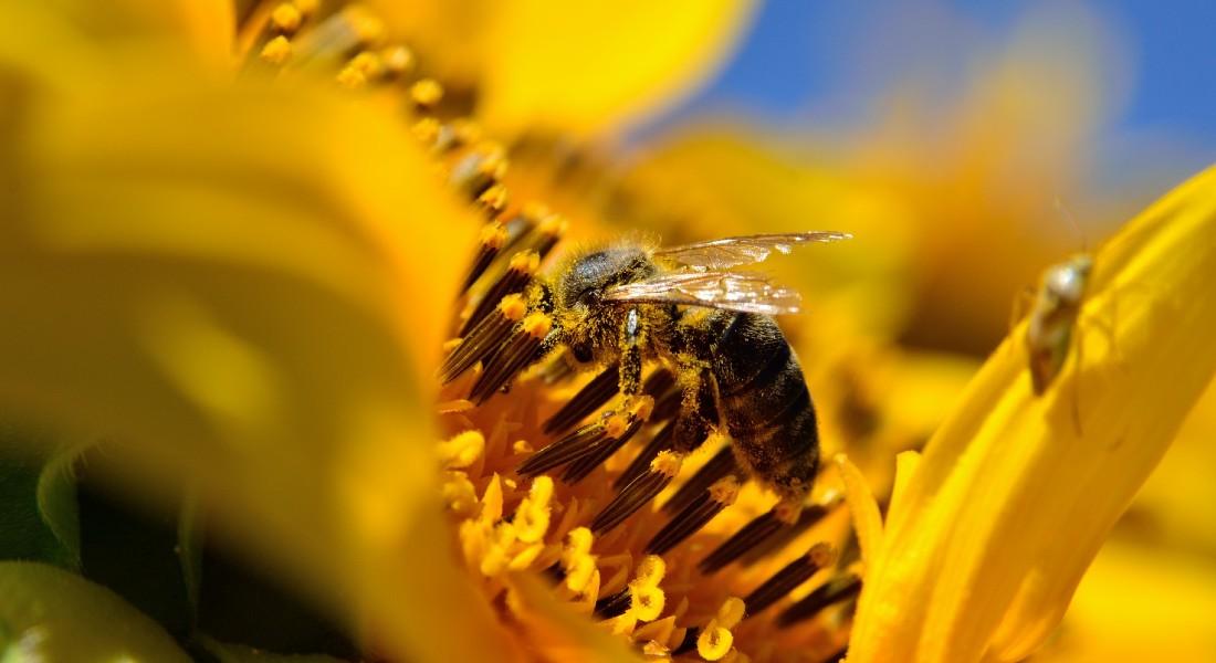 Bi i en blomst